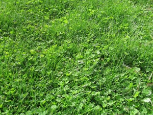 small clover patch